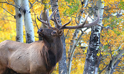 Photo of a bull elk, one of millions of images used to develop the UW computer model.
